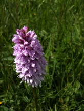 Common-spotted orchid