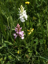 Common-spotted orchid, white and pink varieties