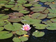 Trying out my zoom function with this water lily