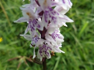 Common-spotted orchid arty shot