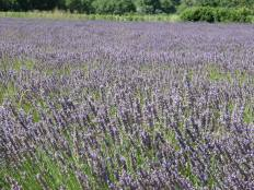 Lavender field - the image of Provence!