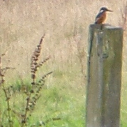 My kingfisher